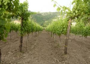 Vineyard Of Cantina Giovanni Molettieri Winery
