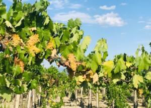 Vineyards at Cesani WInery