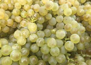 Grapes at Cesani WInery