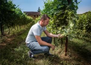 Vineyard Of Cascina Faletta Winery