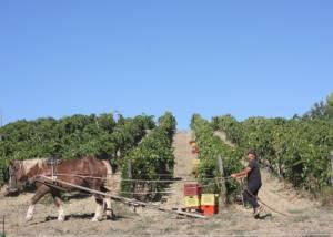 Vineyard Of Fattoria La Maliosa Winery