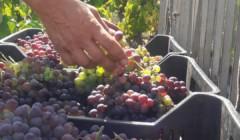 Harvest At Fischetti Winery