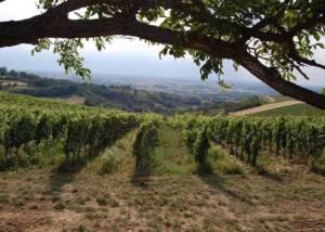 Vineyards at Marchese Adorno