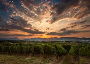 Vineyard Of Monte Delle Vigne Winery