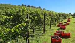 Harverst at the vineyard of the Vignaioli Contra' Soarda