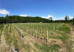 vineyard of agriturismo castello della mugazzena