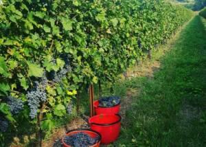 Harvestig of grapes at Azienda Agricola Aldo Adami winery