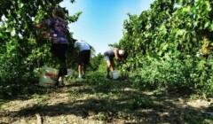 vineyard of azienda agricola brumat gabriele