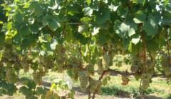 Grape Vines Of The Baroda Founders Wine Cellar Winery