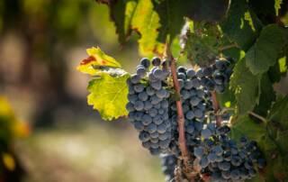 Grapes at Bell Cros Vineyards