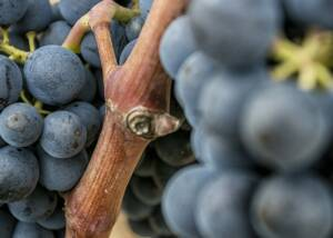 Bell Cros Grapes