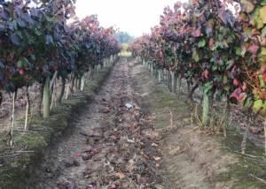 A passage between two rows of vines at Bodega de la carolina winery