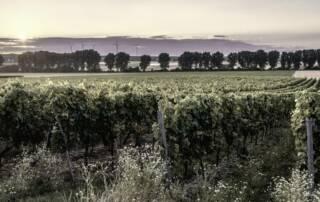 Vineyards of Bodegas Antonio Canaveras Winery