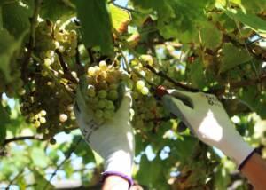 A Man Pruning Grapes At Bodegas Martín Códax Winery