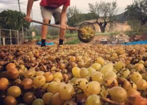 Harvested Grapes At Bodegas Riko Winery