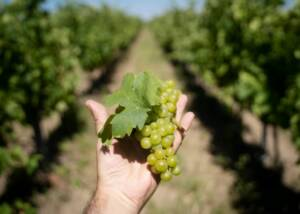 A man holding grapes in the vineyard of Bodegas Viticultores De Barros winery