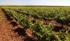 Beautiful vineyard of Bodegas Viticultores De Barros Winery