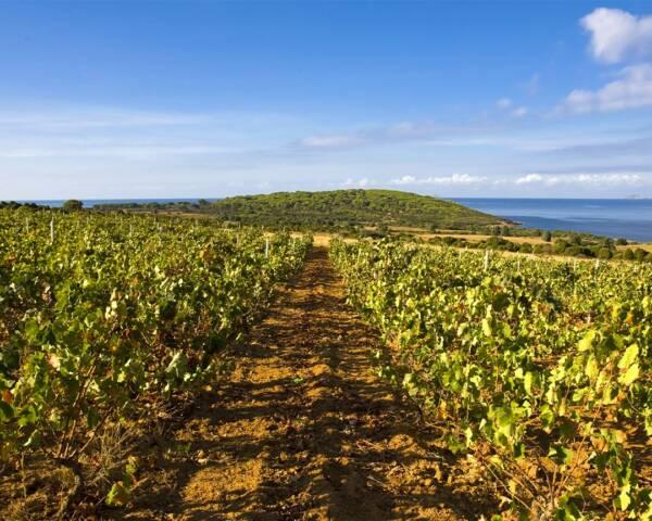 Beautiful Vineyard Of The Cantina Santadi Winery