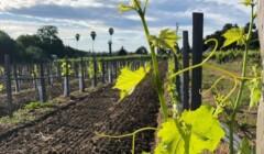 Vineyards at Capo Creek Winery