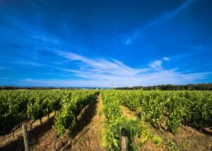 vineyard of Castello del Terriccio with beautiful sky