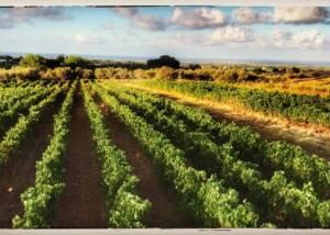 vineyard of Castello del Terriccio