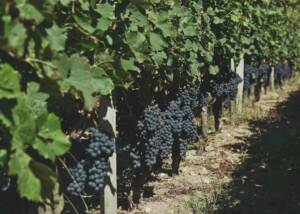 Vines of Chateau Picque Caillou Cellar