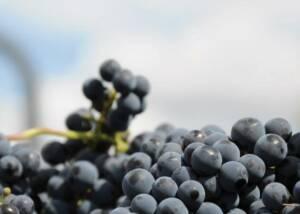 Grapes Of The Cooperativa Falset-Marçà Winery