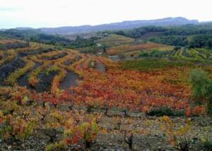 Vineyard Of The Cooperativa Falset-Marçà Winery