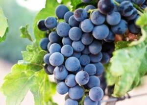 Black grapes at the vineyard of Crystal Basin Cellars