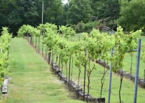 vineyard of delta blues winery