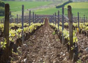 Vineyard Of The Domaine Charton Winery