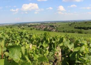 vineyard of domaine coste-caumartin