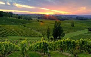 Vineyard of Domaine de Combet Winery