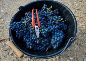 Harvested grapes of Domaine de Saumarez Winery
