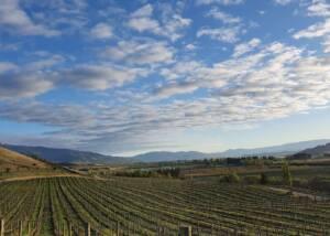 vineyard of domaine thomson wines