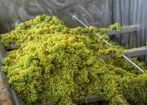 Grapes of Erzherzog Johann Weine
