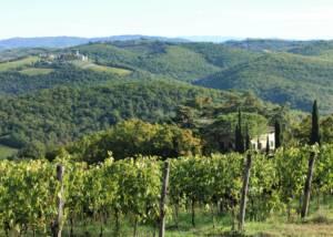 Beautiful Vineyard of the Fattoria Della Aiola winery