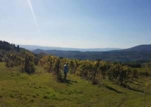 vineyard of fattoria montereggi with view of mountain in the background