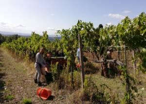 staffs of working in the vineyard of fattoria montereggi