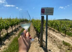 Vineyard Of The Flat Rock Cellars Winery