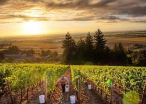 Vineyards of Furioso Vineyards
