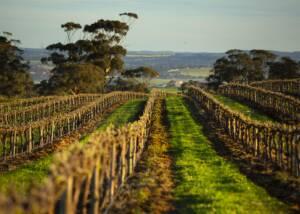 Elderton Wines VIneyards