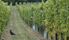 Vineyard Of The Harsányi Winery