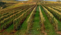 Breathtaking View Of The Vineyard Of The Holloran Vineyard Wines