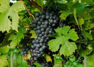 Grape bunch at the vineyards of Il Pignetto