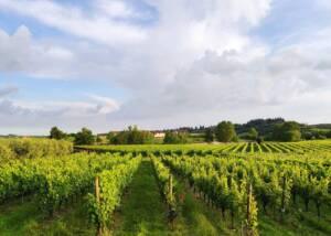 Vineyards of Il Pignetto