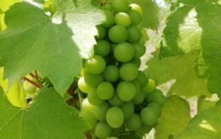 Grapes of Karadi Berger Winery