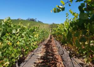Beautiful Vineyard Of The Karah Estate Vineyard Winery