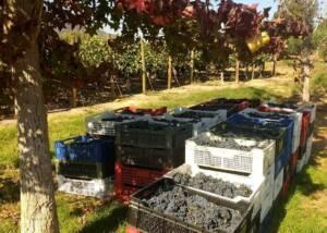 Harvested grapes at La Vina Del Senor