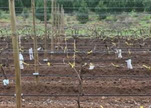 Vineyards of La VIna Del Senor